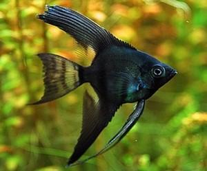 Black Lace Angelfish