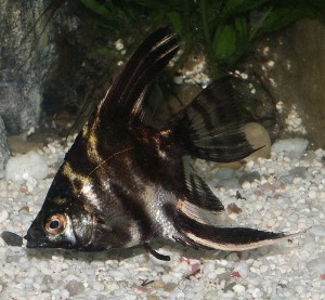 Marbled Angelfish