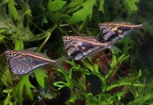 hatchetfish school