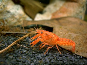 Mexican Dwarf Red Crayfish