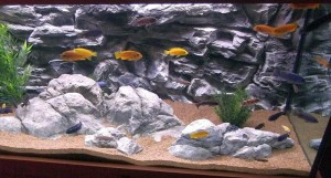 African Chiclids Tank