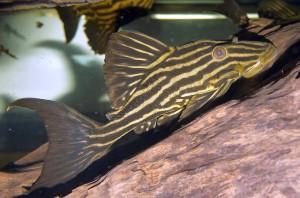 Gold Royal Pleco (Panaque nigrolineatus)