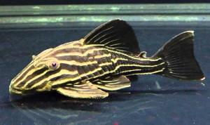 Gold Line Royal Pleco L027