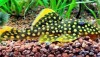 Gold Nugget Plecostomus (Baryancistrus sp.)
