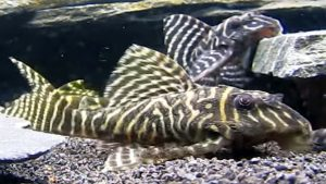 Gypsy King Tiger Pleco L-066 (Hypancistrus sp.)