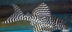 Gypsy King Tiger Pleco (L066) (Hypancistrus sp.)