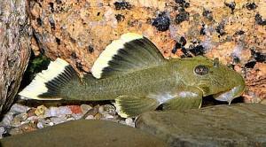 Mango Plecostomus (Parancistrus sp. Magnum)