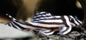 Orinoco Zebra Pleco