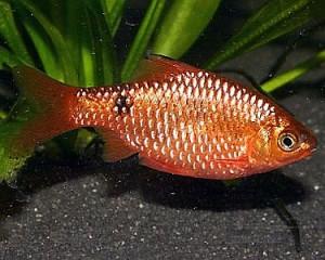 Rosy Barb (Puntius conchonius)