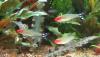 Rummynose Tetra (Hemigrammus bleheri)