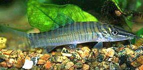 Tiger Botia Loach - Syncrossus hymenophysa (ex Botia hymenophysa)