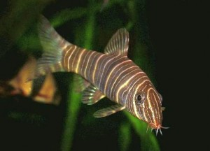 Zebra Botia Loach (Botia striata) a.k.a. Candystripe Loach