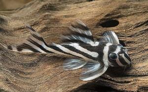 Zebra Plecostomus (Hypancistrus zebra