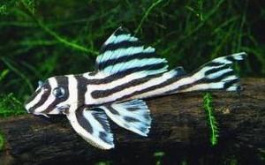 Zebra Plecostomus (Hypancistrus zebra)