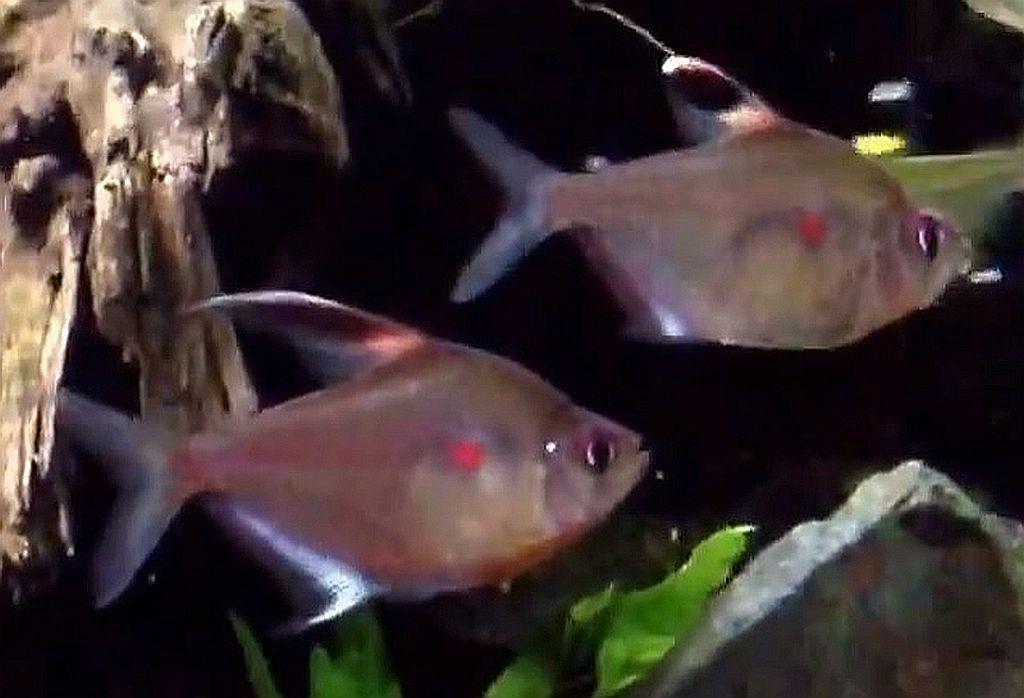 Bleeding Heart Tetra Hyphessobrycon Erythrostigma Tropical Fish Keeping