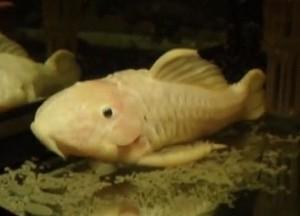 Rubber Plecostomus (Parancistrus aurantiacus)
