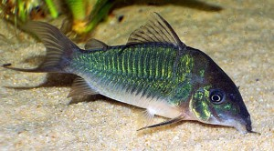 "Emerald Green ""Cory"" Cat (Brochis splendens) a.k.a. Emerald Green Cat"