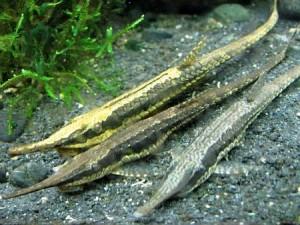Whiptail Catfish (Farlowella acus) a.k.a. Farlowella Cat