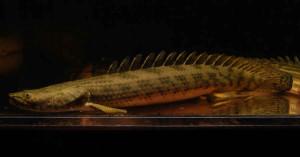 Guinean Bichir (Polypterus ansorgii)