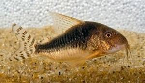 Palespotted Cory Cat (Corydoras gossei)