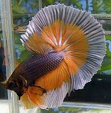 Steel Mustard Gas Butterfly Halfmoon Betta