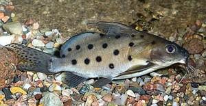Synodontis Ocellifer Catfish (Synodontis ocellifer)