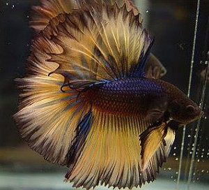 The Beauty HalfMoon Betta