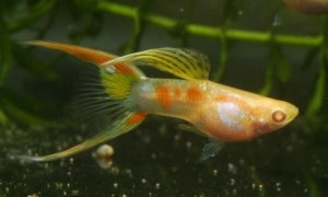 Albino Neon Endler X Double Swordtail Guppy