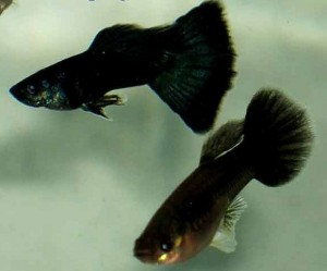 Black Guppy Pair