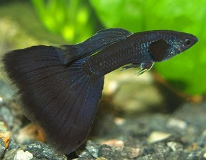 Black Guppy