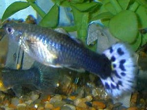 Blue Female Guppy