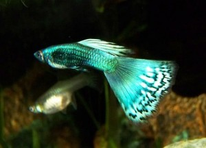 Blue Green Moscow BiColor Guppy