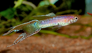 Double Swordtail Endler Cross Guppy
