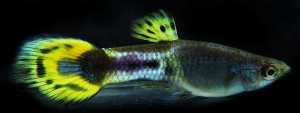 European Cobra Metalhead Roundtail Guppy