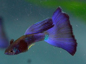 German Moscow Blue Guppy