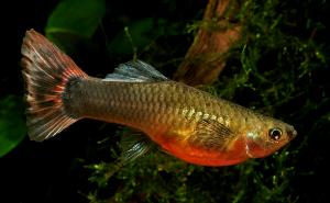 Guppy Female