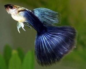 Half Black Blue Guppy
