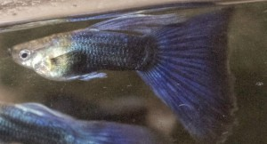 Half Black Purple Guppy