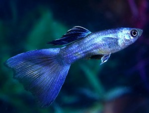 Moscow Blue Guppy