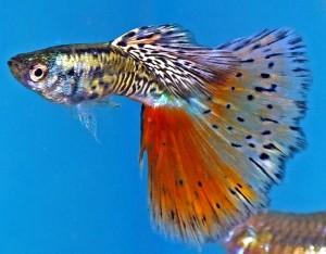 Multicolor Guppy