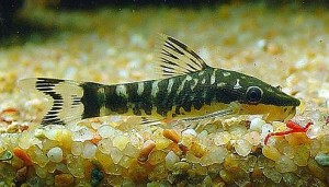 Zebra Otocinclus Catfish (Otocinclus cocama)