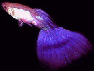 Purple Guppy