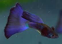 Purple Guppy