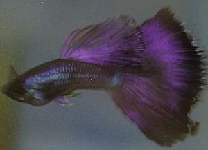 Purple Moscow Guppy