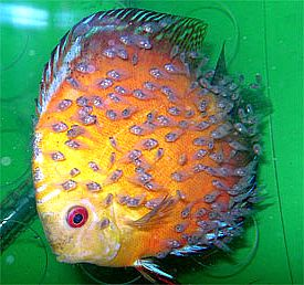 Symphysodon Discus and Young