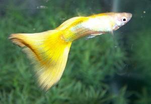Yellow Guppy