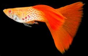 Albino Snakeskin Guppy