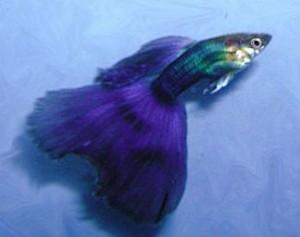Half Black Purple