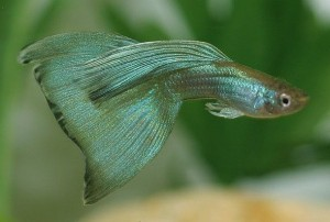 Moscow Green Guppy