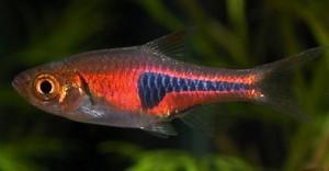 Harlequin (Rasbora espei)